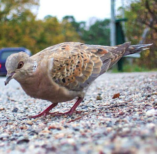 Photo European turtle dove (Streptopelia turtur)