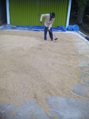 Proses pengeringan/penjemuran padi