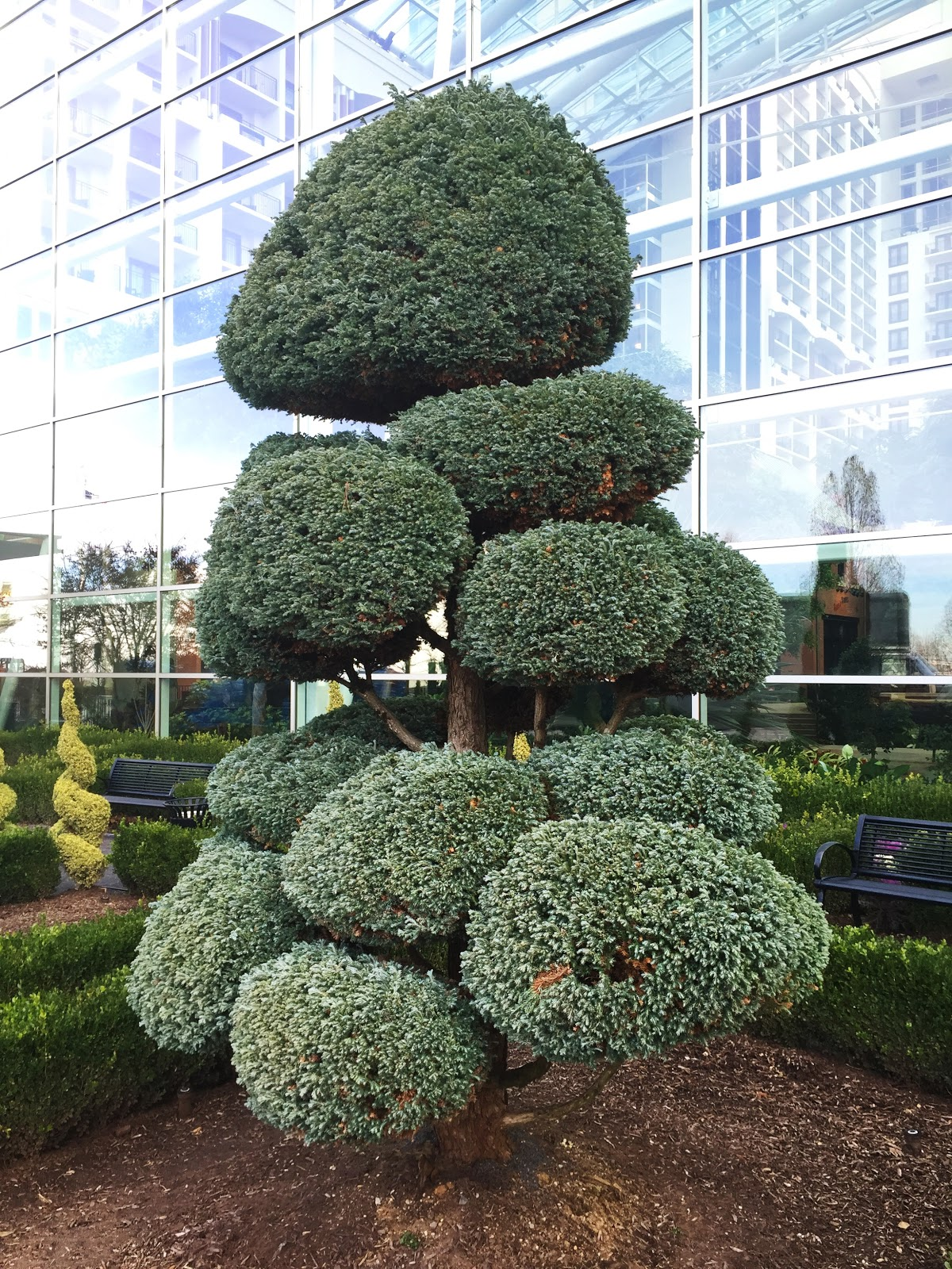 Chamaecyparis pisifera 'Boulevard' in cloud form