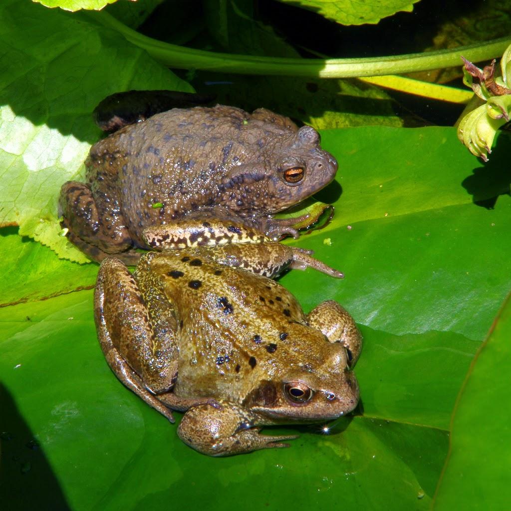 Species Of Uk Week 45 Common Frog Rana Temporaria