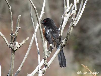 Spotted Towhee at Rosario Beach