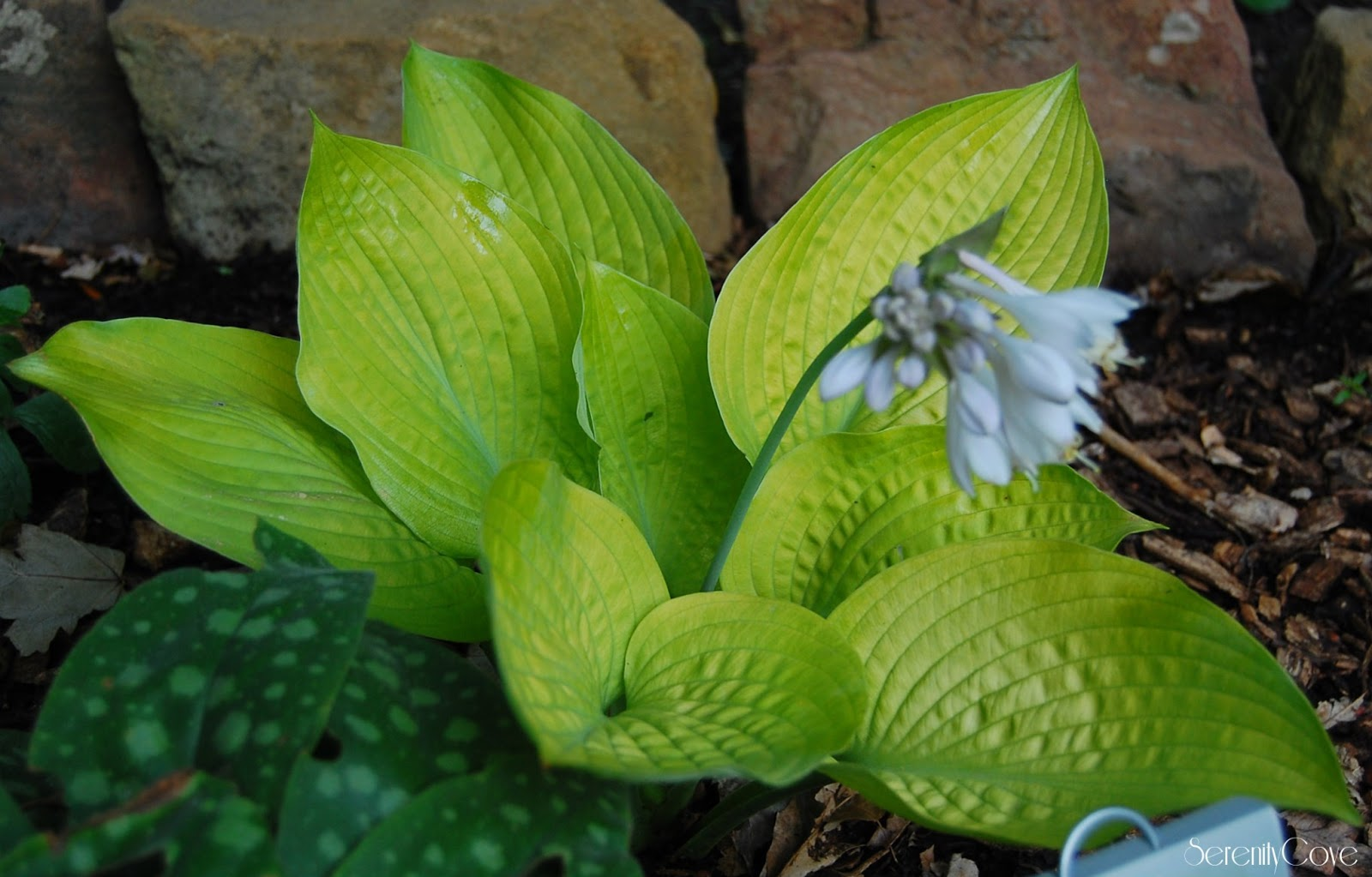 Serenity cove ten of my favorite hosta 39 s - Olive garden bailey s crossroads ...