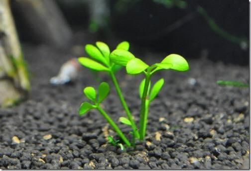 Cây thủy sinh cỏ bợ 4 lá ra lá nước sẽ từ từ thấp lại