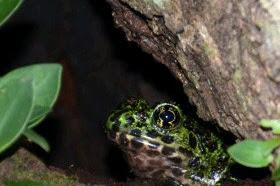 アマミイシカワガエル 日本一美しいカエル