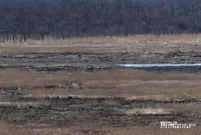風蓮川河口には、見渡せる範囲だけでも 6つがいのタンチョウが確認できた