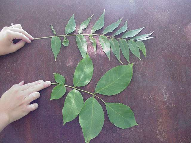 Temperate Climate Permaculture: Permaculture Plants: Walnut