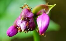 cara mengusir semut pada tanaman, cara mencegah datangnya semut