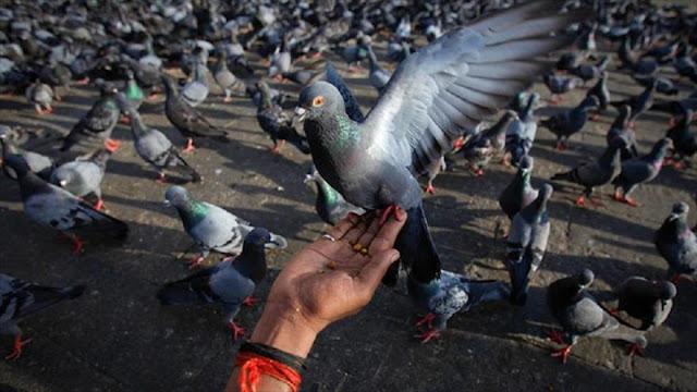 India detiene a 150 palomas bajo sospecha de espionaje