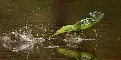 Correre sull'acqua: animali capaci di farlo