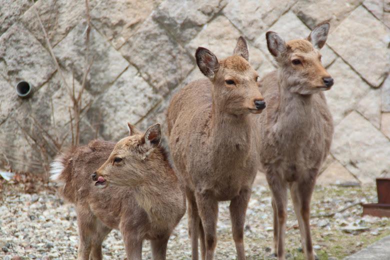 虎視眈眈的鹿群