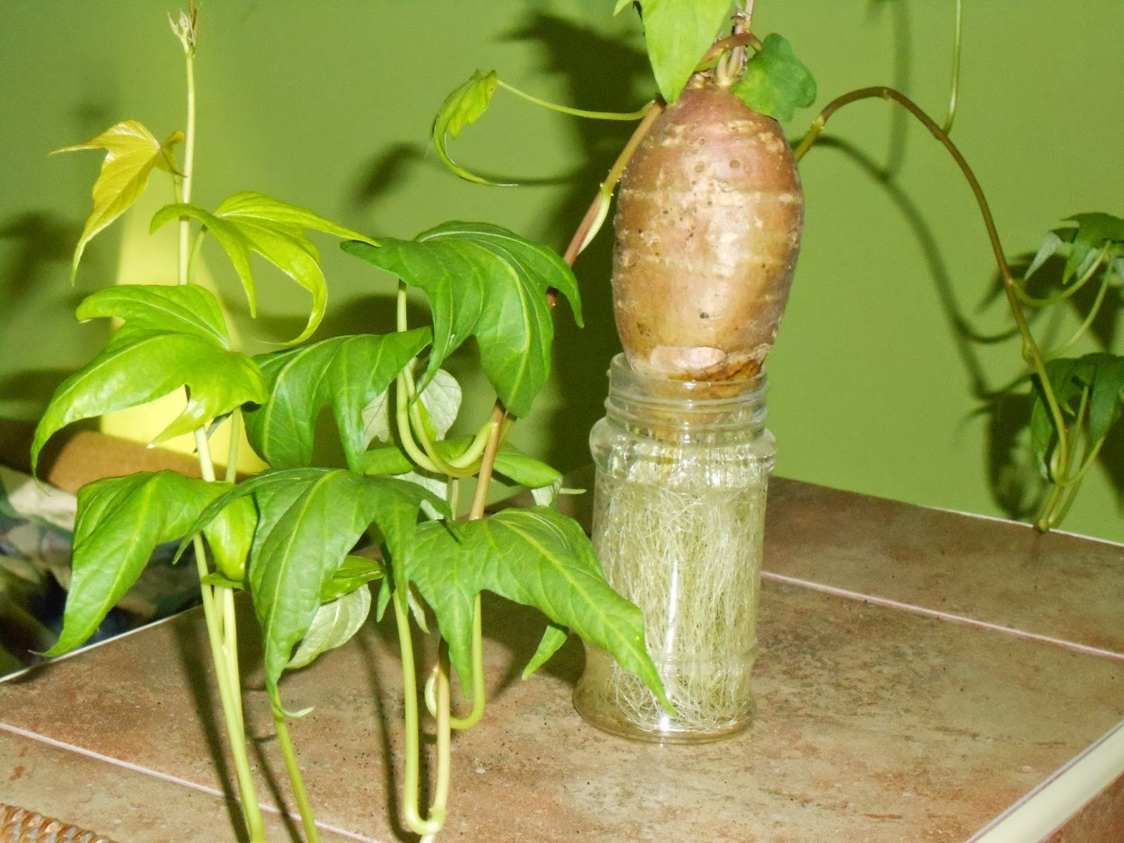 Growing sweet potato slips indoors.