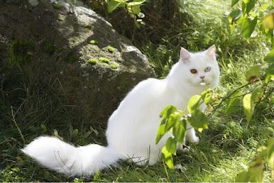 kriteria membuat makanan untuk kucing anggora