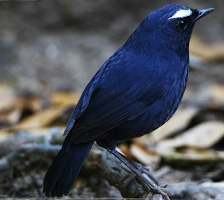 Download 46+  Gambar Burung Jongkangan   Free