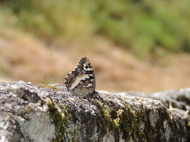 Mariposa Brintesia circe