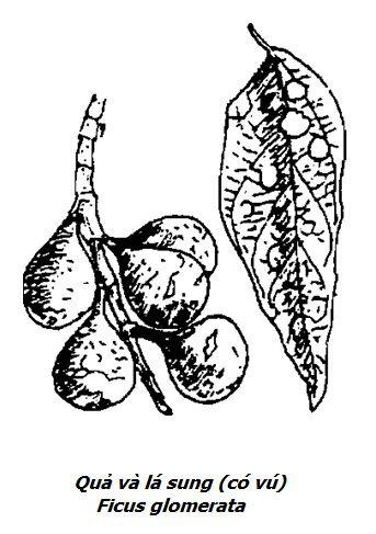 Hình vẽ quả và lá Cây Sung - Ficus glomerata - Nguyên liệu làm thuốc Chữa Tê Thấp và Đau Nhức