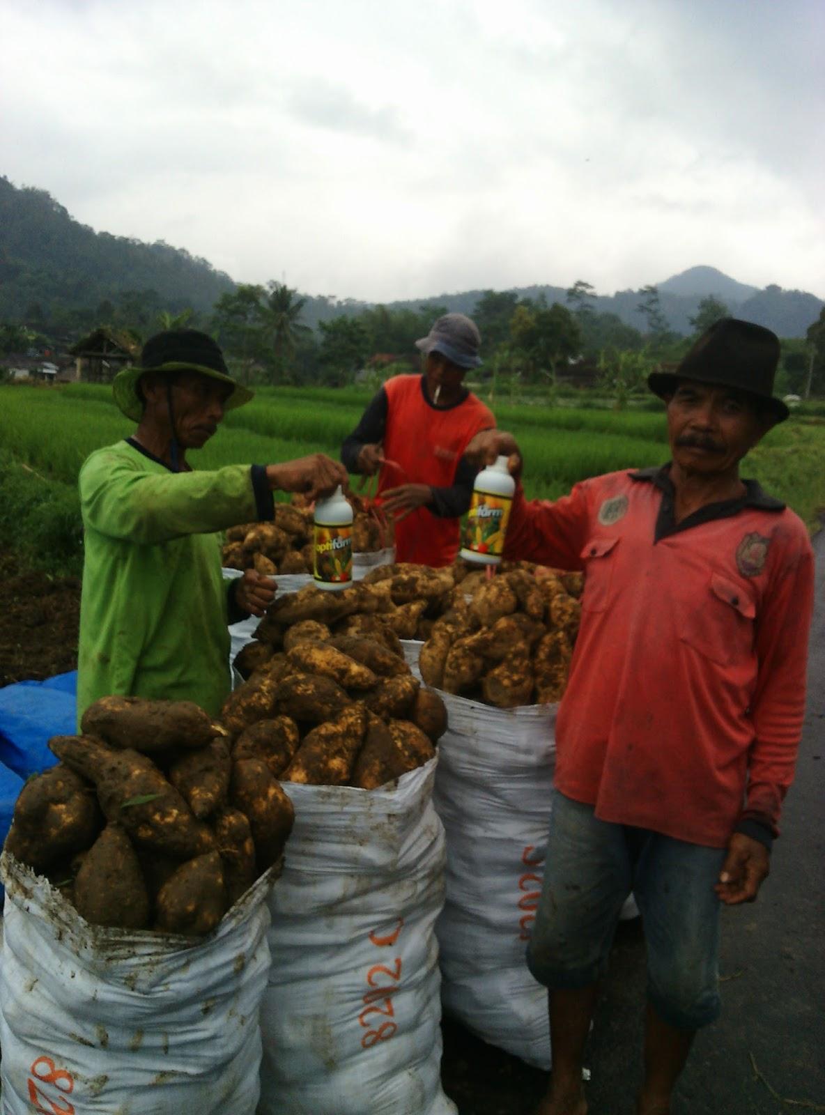 Panen ubi madu Cilembu ini berada di lokasi Tawangmangu, Karanganyar