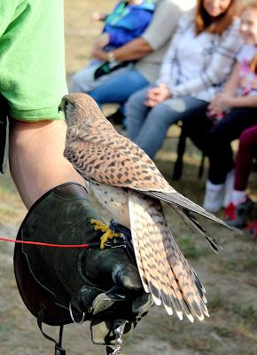 Miracolo,Pustułka zwyczajna (Falco tinnunculus)