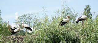 Ciconia ciconia - Cigogne blanche
