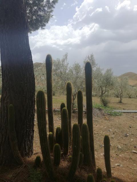 sukulenty w ogrodzie, kaktusy