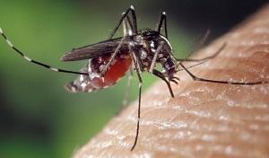 Malaria Vaccine .Plasmodium vivax mosquito
