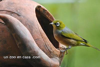Pájaro de anteojos (Zosterops lateralis)
