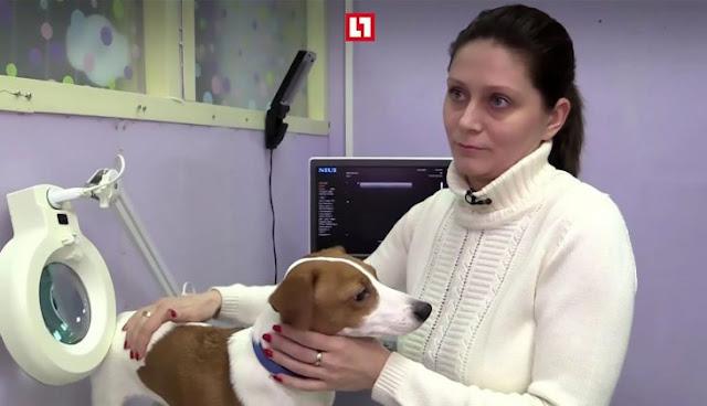 Le hacen una cirugía plástica a su perro en las orejas