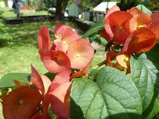 Chapeau chinois rouge - Coupe et saucière - Fleur parasol - Holmskioldia sanguinea
