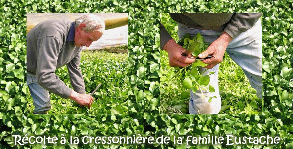 Culture du cresson de fontaine en voie de disparition en Belgique ? Récolte à la cressonnière de la famille Eustache (Vallée de la Molignée) - Bruxelles-Bruxellons