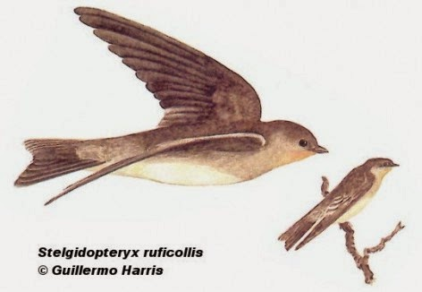 Southern roug winged Swallow