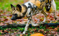 African wild dog. (Credit: Josh More/flickr) Click to Enlarge.