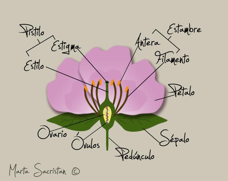 Estructura De Flor La Partes Sus Y Una