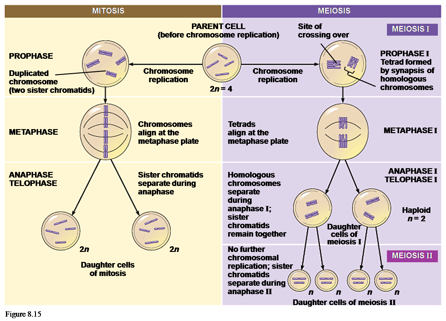 Berikut Perbedaan Mitosis Dan Meiosis Secara Lengkap Tabel Dosen Arsitektur Ui