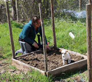 Thelma helping A plant spuds, or not