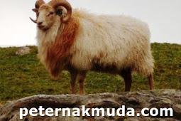 kumpulan nama nama domba asal luar negeri