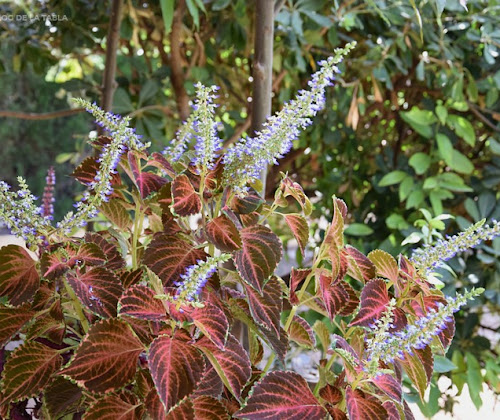 Las flores de cóleo (Plectranthus scutellarioides)