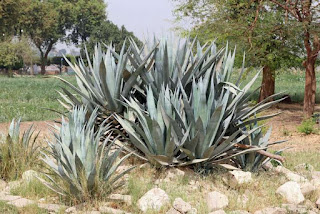 benefits-of-agave-plants-nutritional-content-and-how-to-use