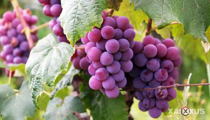 Buah penambah darah untuk penderita darah rendah - Anggur
