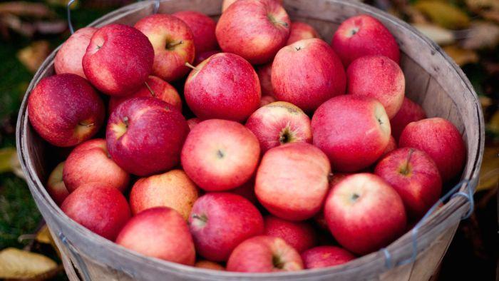 ¿Cuántas manzanas se necesitan para crear 1 galón de sidra de manzana?