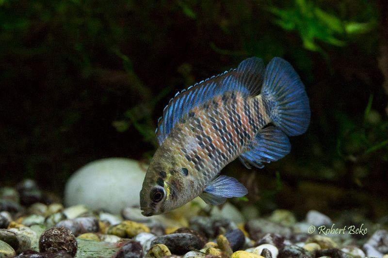 Ikan Hias Badis-Badis