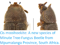 https://sciencythoughts.blogspot.com/2018/01/cis-mooihoekite-new-species-of-minute.html