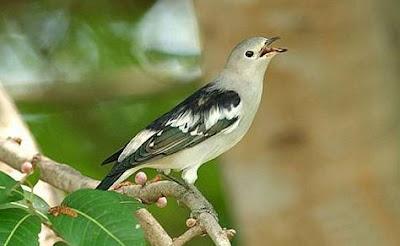 Mengenal Dekat Dan Cara Proses Perawatan Burung Jalak Sutra Agar Cepat Gacor