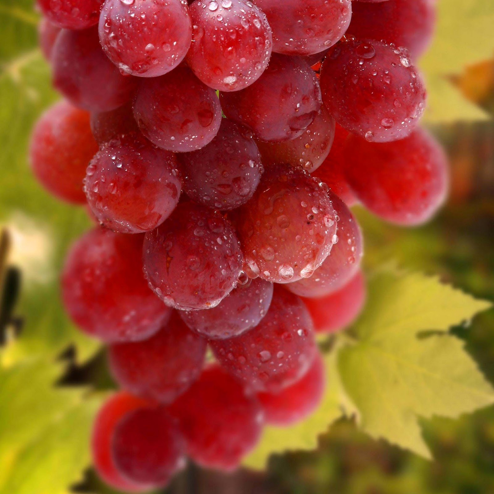 red-grapes-Fruit-wallpaper