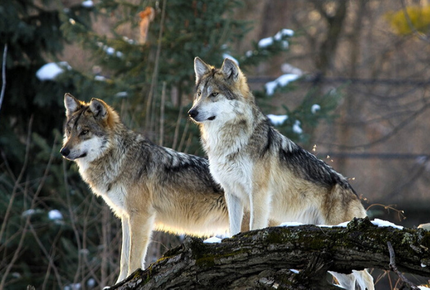 facts about wolves