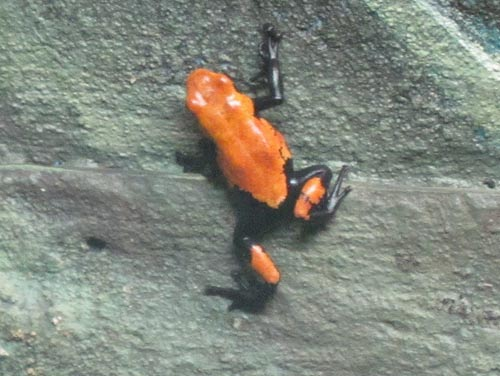 Splash-Backed Poison Dart Frog