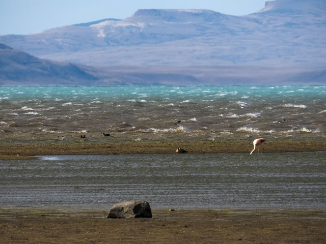 Chilean Flamingo on the shore of Lago Argentino in El Calafate Argentina