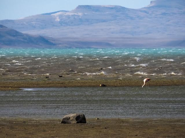 Chilean Flamingo on the shore of Lago Argentino in El Calafate Argentina