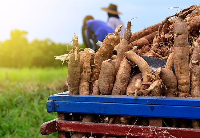 Tinuku Gene editing to faster production of food-friendly cassava