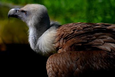 Gänsegeier, Griffon aasvoël, Shkaba Griffon, Griffon vulture, シロエリハゲワシ、Sai arrea, Белоглав лешояд, Gåsegrib, Kaeluskotkas, Hanhikorppikotka, Vautour fauve,