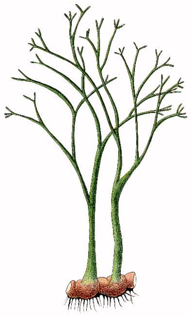 Horneophyta