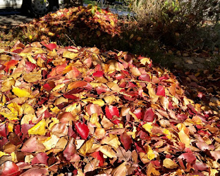 Two piles of autumn leaves from a Manchurian Pear tree. The sun is shining on the leaves in the foreground to highlight the red, yellow, orange and brown colours of the changing foliage.